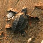 La liberación de tortugas golfinas es una de las actividades famosas en Choluteca.