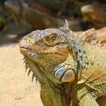 En el interior de French Harbour podrá encontrar la granja de iguanas.
