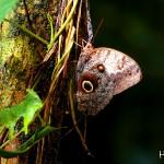 En el Lago de Yojoa también podrá apreciar la mariposa ojos de buho.