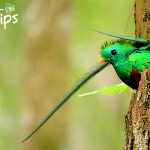 Quetzal macho en el Parque Nacional Cusuco.