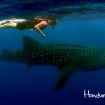 En las aguas azules de Utila se busca al ser más célebre de la isla, el tiburón ballena (Rhincodon typus).