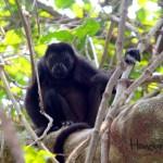 Mono aullador en el Parque Nacional Jeannette Kawas.