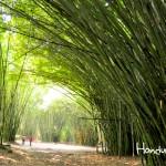 Túnel de bambú hacia el río Lancetilla en el Jardín Botánico Lancetilla.