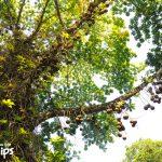 En el arboretum se realizan colecciones de árboles maderables de las zonas tropicales de  todo el mundo. Esta especie se conoce como bala de cañón (Couroupita guianensis)