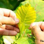 La hoja pícara o curiosa es una de las plantas que llama la atención de los visitantes. El nombre científico es Dillenia suffruticosa.