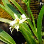 La Prosthechea radiata se encuentra entre las 81 especies de orquideas que resguarda el orquideario en Lancetilla.