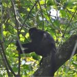Durante la entretenida caminata por los senderos del Parque Jeannette Kawas, podrá observar la fauna del lugar, entre ella, los monos aulladores /