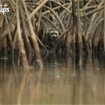 En Cuero y Salado también podrá apreciar los manglares y una que otra especie de la fauna del refugio, en esta imagen se pudo captar a un mapache rodando el área / In Cuero y Salado you will also appreciate that mangroves and other species of this wildlife refuge. This image captured a raccoon rolling around the area.