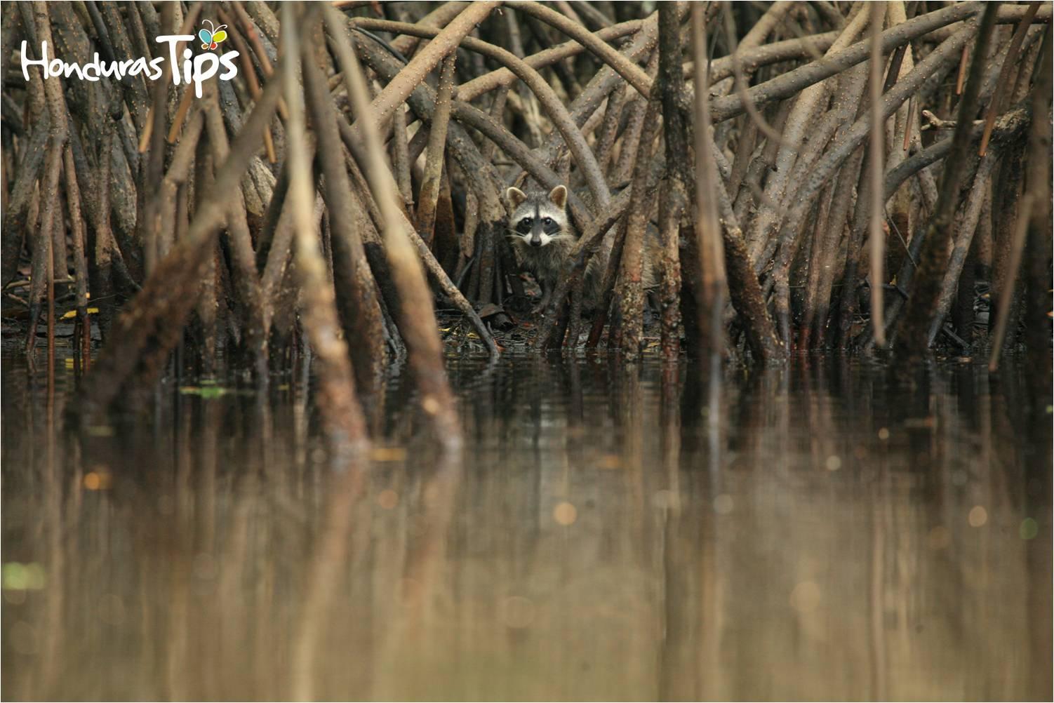 En Cuero y Salado también podrá apreciar los manglares y una que otra especie de la fauna del refugio, en esta imagen se pudo captar a un mapache rodando el área.