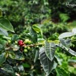 La altura de la montaña es ideal para la cosecha de café.