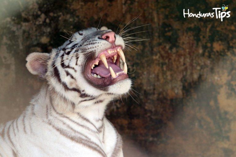 Joya Grande, tigre