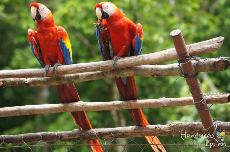 Dentro del parque se hace anualmente la liberación del Ave Nacional de Honduras.