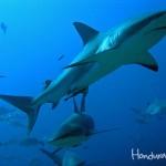 Buceo con Tiburones en Roatán