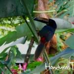 Pico Bonito es un paraíso para avistamiento de aves