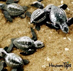 El sur le ofrece la oportunidad de ver dos de las cinco especies de tortugas marinas de Honduras: la tortuga de carey y la tortuga golfina (fotografía).