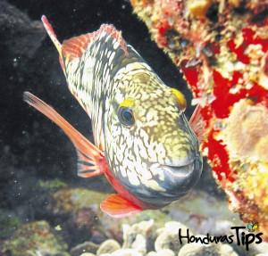 Utila tiene un arcoiris de especies marinas.
