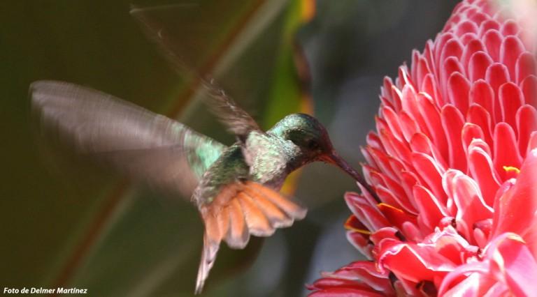 Las aves más frecuentes son los colibríes con su rápido revolotear.