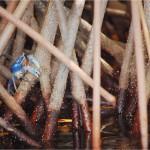Entre la zona manglar de la Laguna de Cacao en el Parque Nacional Nombre de Dios, podrá apreciar especies de cangrejo como éste denominado Cangrejo azul / Among the mangrove area and Cacao Lagoon in Nombre de Dios National Park you may appreciate different crab species such as this Blue Crab.