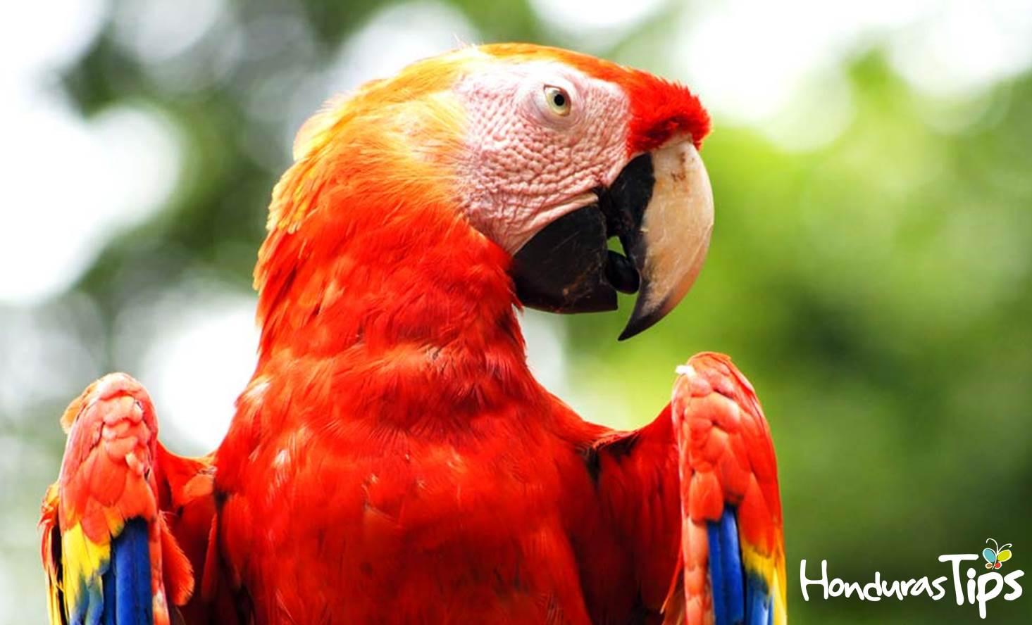 Guara o Guacamaya Roja, el ave nacional de Honduras.