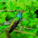 Colibrí esmeralda, una joya voladora de Honduras para el mundo