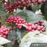 """""""El café hondureño está entre los mejores cuatro del mundo"""""""