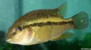 pez honduras