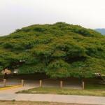 El árbol anacahuite es la joya de los sannicolasenses y el corazón del parque central, donde a diario reposan sus habitantes. Foto: Municipalidad de San Nicolás.