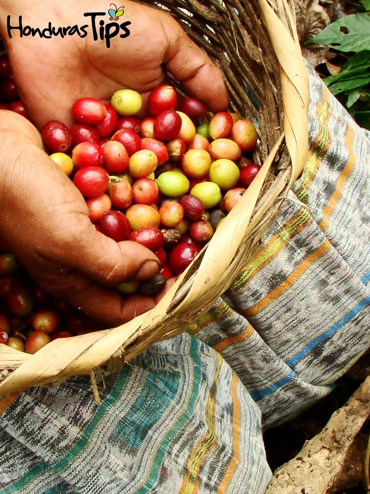 Las manos de los agricultores del café son el enfoque principal del largometraje.