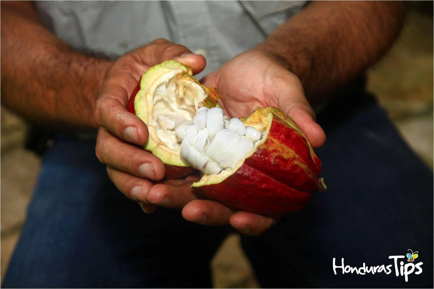 El cacao hondureño es muy utilizado en las agroindustrias.