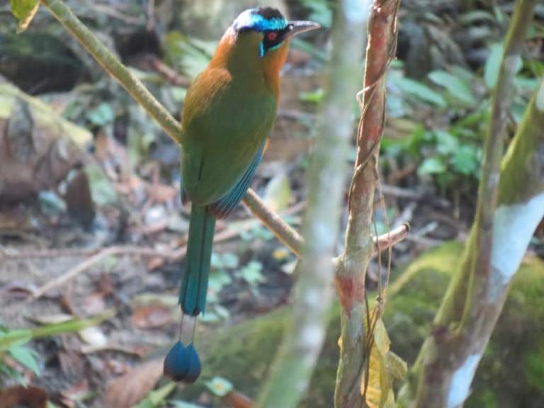 Conocido como barranqueros o guardabarrancos pertenece a una familia de aves tropicales.