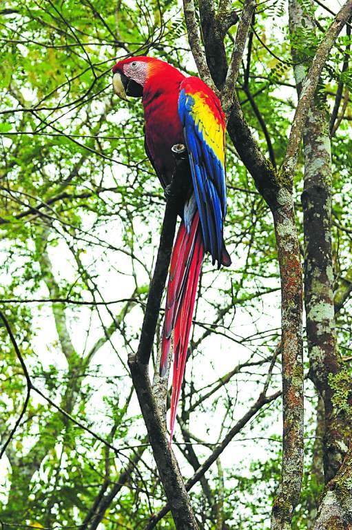 La guacamaya (Ara Macao) o guara roja llega a medir 90 centímetros de longitud y a pesar un kilogramo.