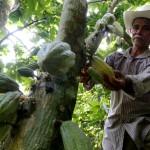 Cacao hondureño se clasifica entre los 50 mejores del mundo