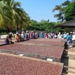 Cacao hondureño se clasifica entre los mejores 17 del mundo