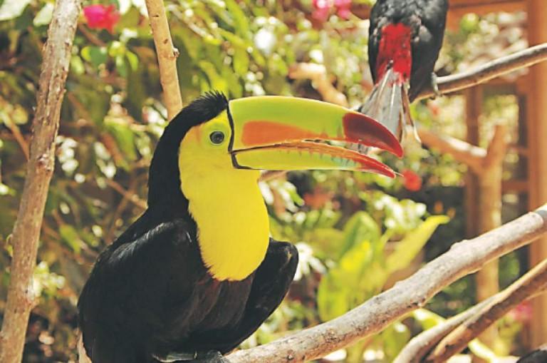 El avistamiento de aves, se vuelve popular en Honduras y es atractivo para muchos extranjeros amantes de el aviturismo.