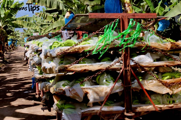 En las tierras de Olanchito aún cultivan bananos para empresas extranjeras.