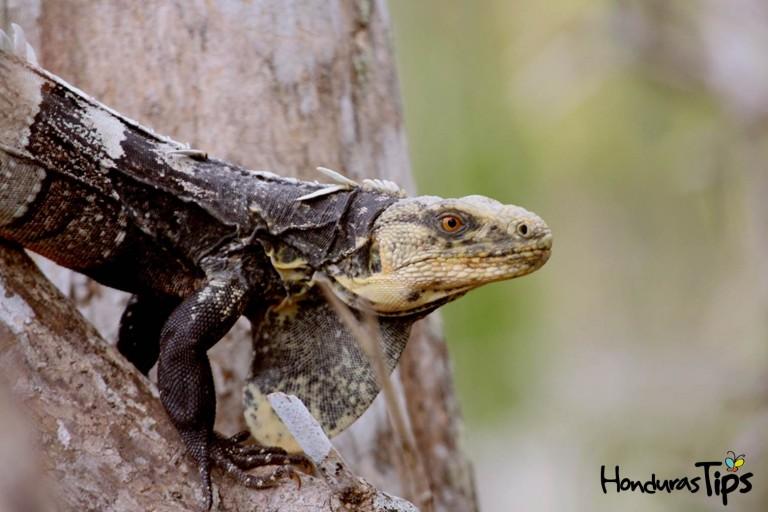 El jamo negro es un animal en vía de extinción, que usualmente podrá encontrar en Olanchito.