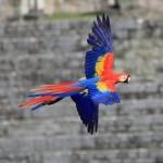 Declaran santuario de guara roja al Valle de Copán
