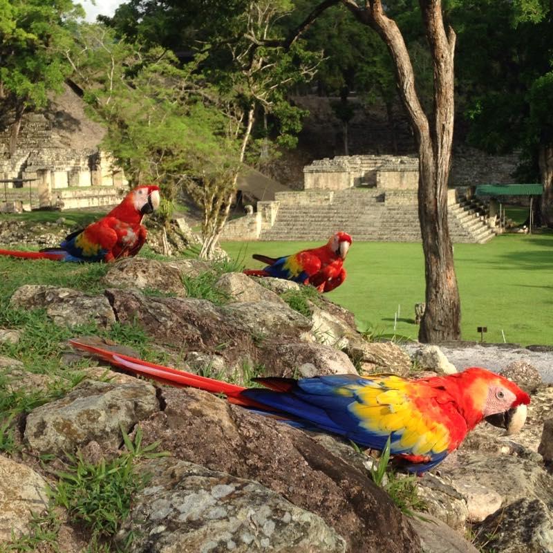 Si va a Copán Ruinas puede tomarse fotografías con las hermosas guaras rojas. (Foto cortesía Macaw Mountain)