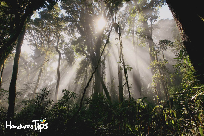 Hay partes de Celaque donde la luz del sol no logra penetrar los grande árboles.