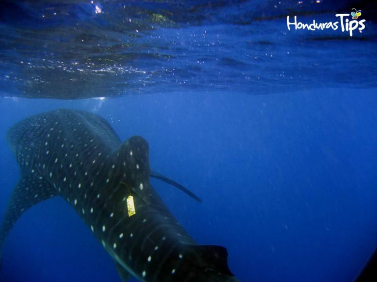 El tiburón ballena es uno de los huéspedes más esperados de Utila.