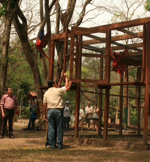 Liberación de guacamayas en 2015 (cortesía Asociación Copán).