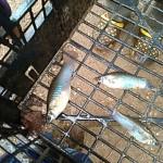 El misterio de lluvia de peces sorprende de nuevo a pobladores de Yoro