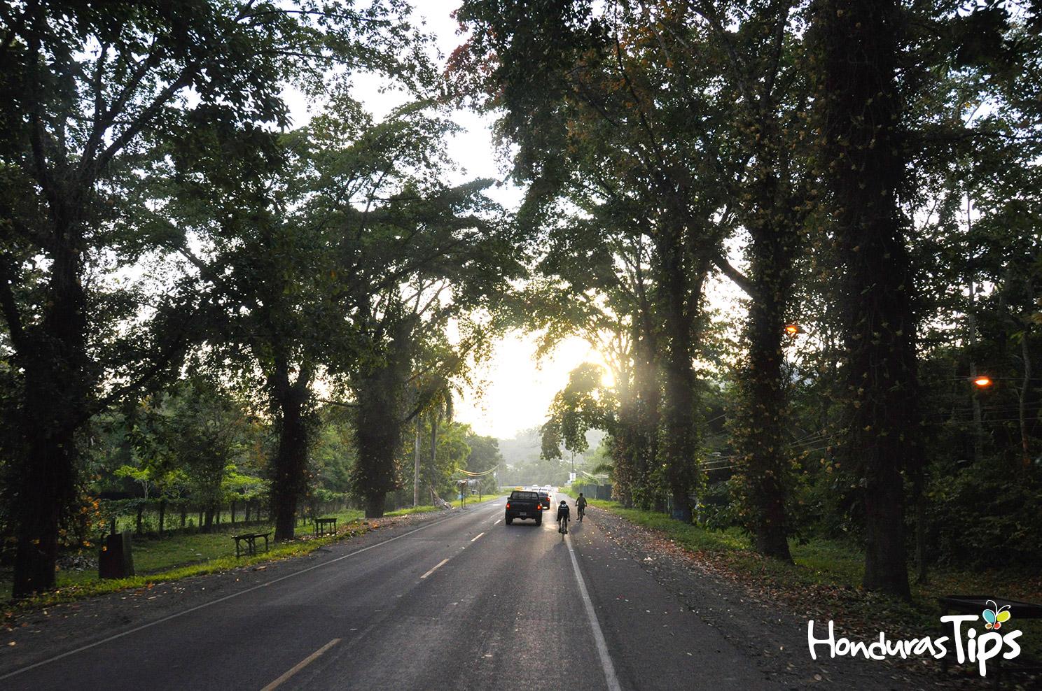 Momento en que la Caravana de Identidad pasaba durante el amanecer por los característicos árboles que rodean la carretera en la entrada de Lancetilla.