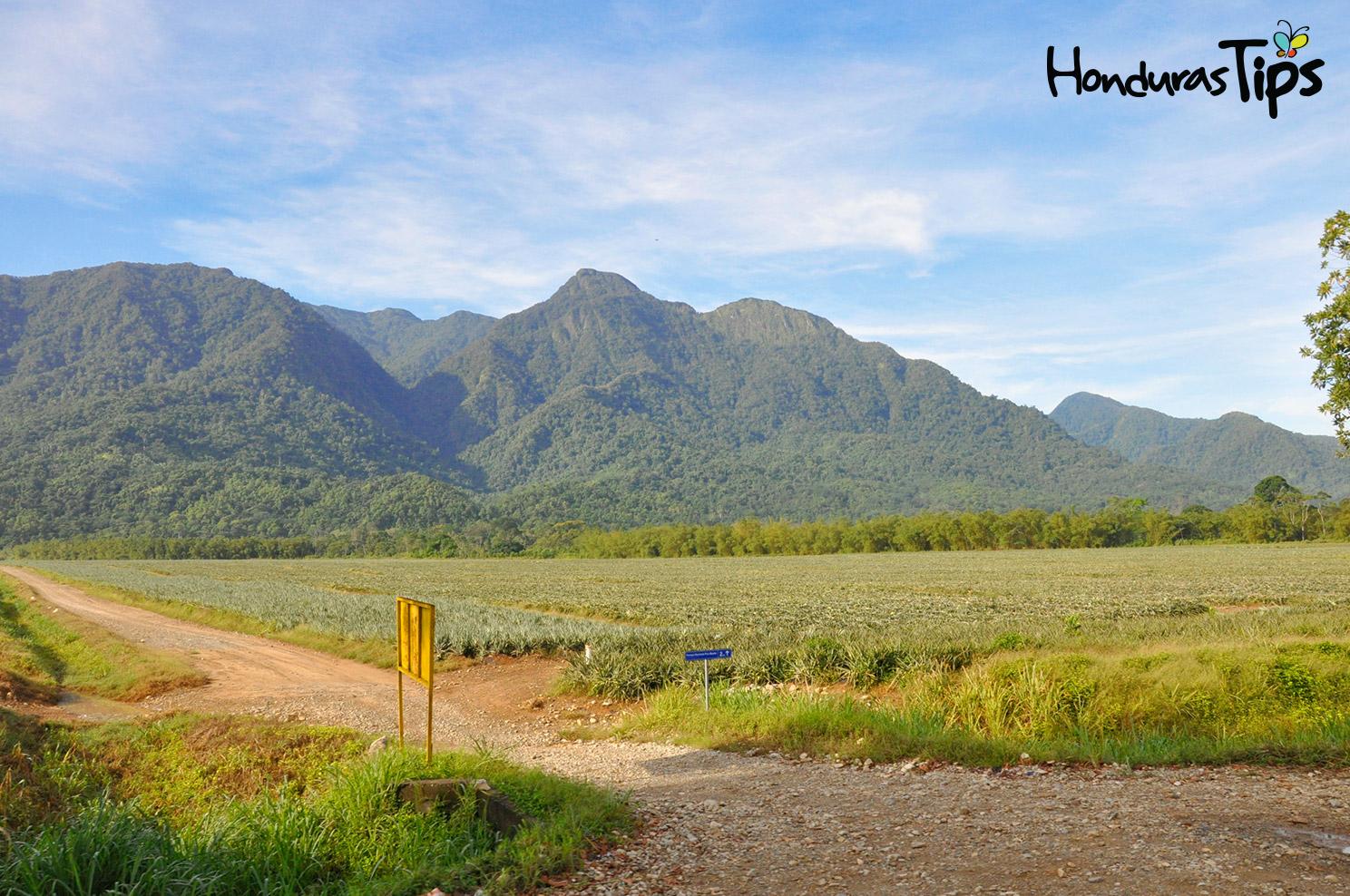 Las piñeras y la vista de Pico Bonito creó suspiros entre los viajeros. Este lugar les indicaba que ya estaban próximos a llegar a La Ceiba.