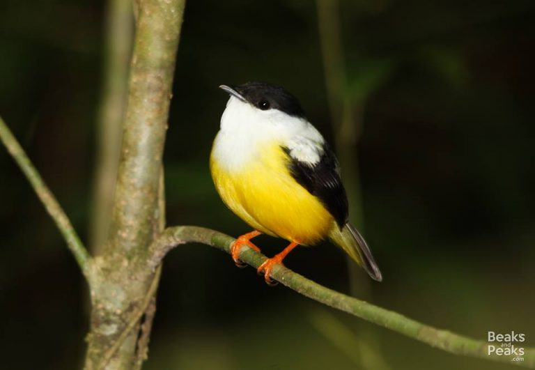 Nombre: Aka-white-collared-manakin