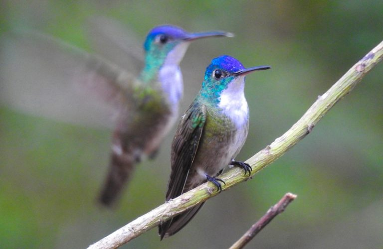 Nombre: Azure-crowned-hummingbird