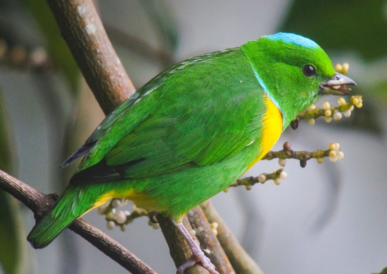 Nombre: Blue-crowned-chlorophonia