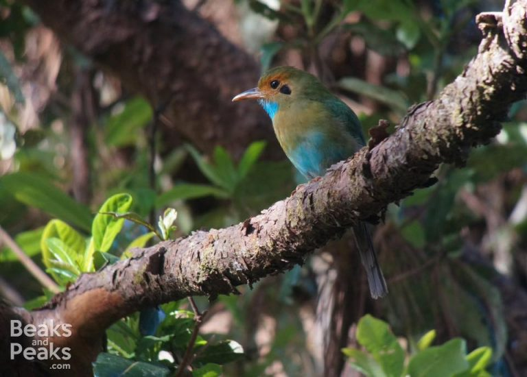 Nombre: Blue-throated-motmot