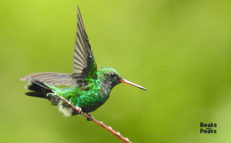 Nombre: Colibrí esmeralda