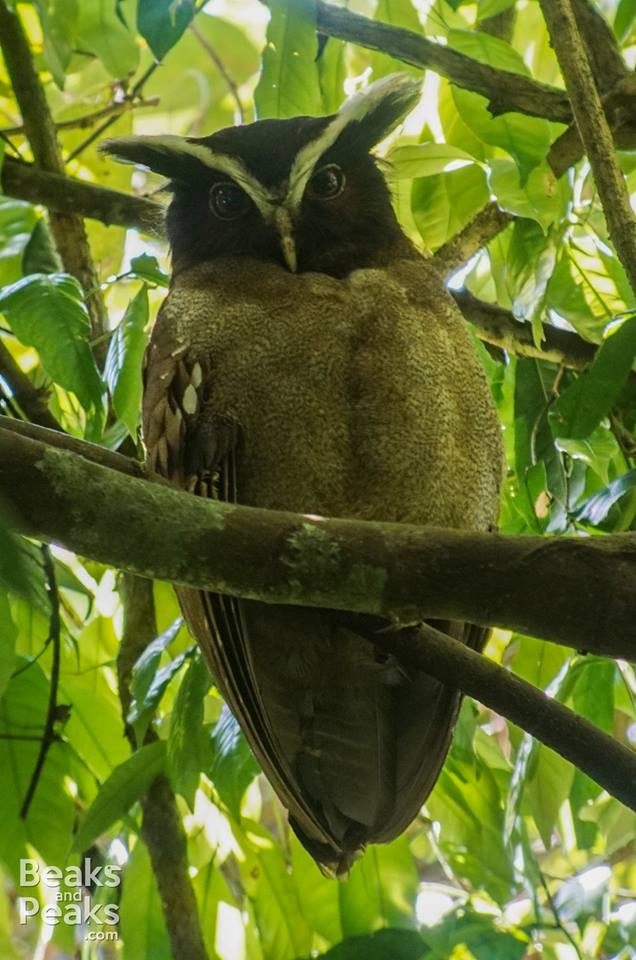 Nombre: Crested-owl